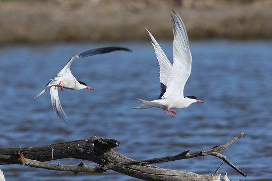 Parque natural s'Albufera de Mallorca: Flussseeschwalben  im Naturschutgebiet s'Albufera