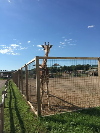 Brainerd, MN: Giraffe at Safari North