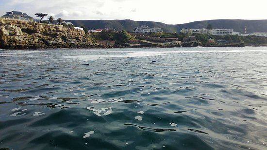 Hermanus Old Harbour with pair of Dolphins swimming past the yacht