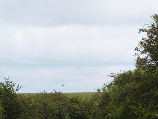 Wiltshire, UK: A kestrel