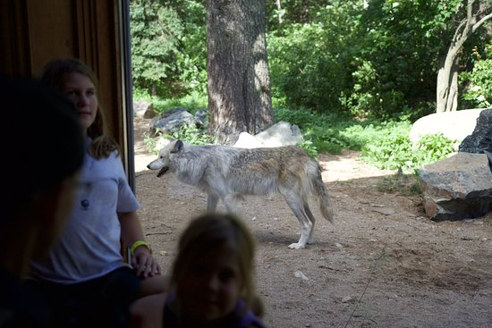 Ely, MN: Another wolf