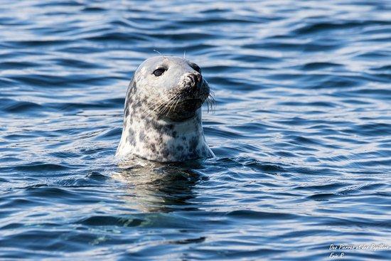 Farne Islands: Un phoque gris