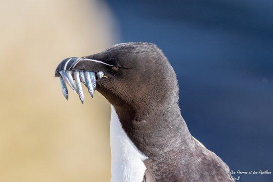 Farne Islands: Un pngouin Torda avec des poissons dans le bec