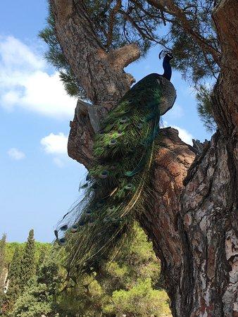 Филеримос, Греция: Павлин