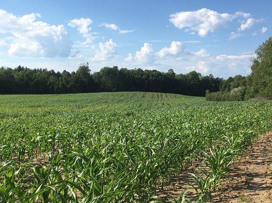 Potsdam, estado de Nueva York: Standing in the corn field