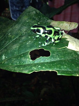 Puerto Viejo de Sarapiqui, Costa Rica: Plenty of frogs to see!