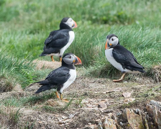 Photo taken of puffins at Elliston puffin viewing area.
