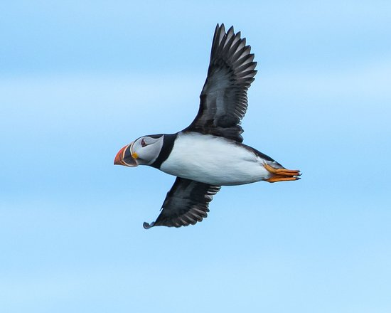 Photo taken of puffin from Elliston puffin viewing area.
