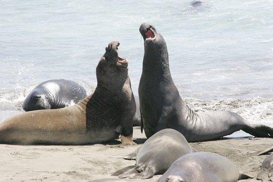 BEST WESTERN PLUS Cavalier Oceanfront Resort: Elephant Seals