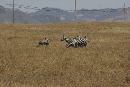 BEST WESTERN PLUS Cavalier Oceanfront Resort: Zebras along the coast drive by Hearst castle