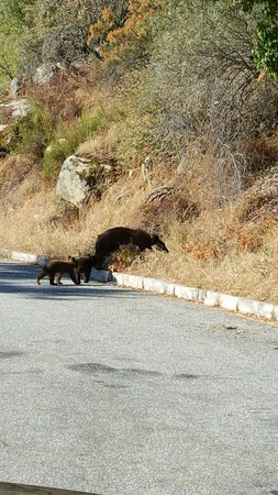 Three Rivers, CA: mama bear and two cubs