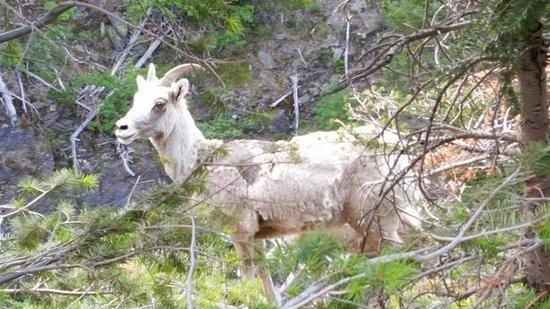 West Glacier, MT: Ornery goat