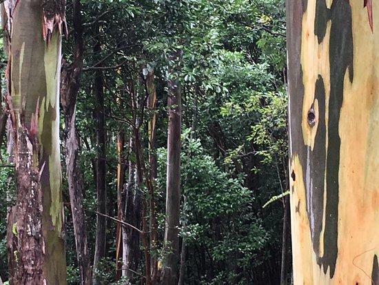 Waihee, ฮาวาย: Painted eucalyptus