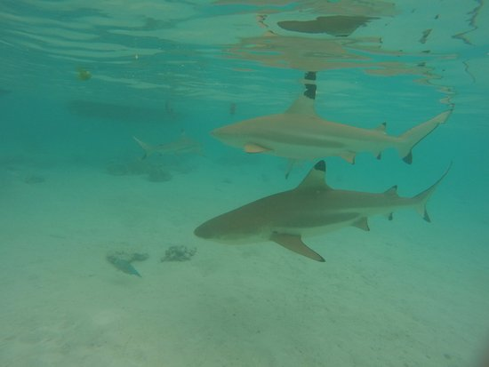 Moorea, Polinesia Francesa: More sharks