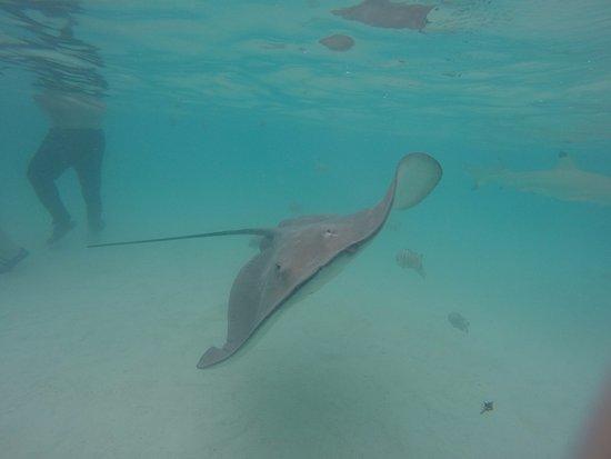 Moorea, French Polynesia: Ray