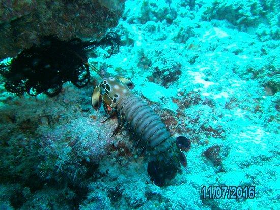 Gili Air, Indonesia: Manta shrimp