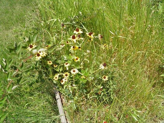 Occoquan Bay National Wildlife Refuge: J'ai oublié le nom de ces fleurs mais je l'ai lu sur un panneau.