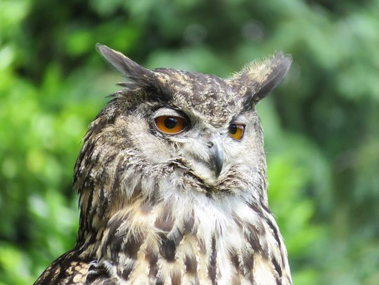 Ringwood, UK: An owl from the flying display