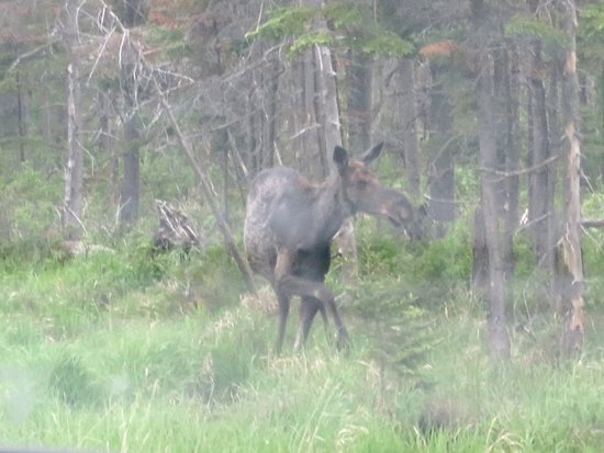 Jackman, ME: Friendly moose just down the road.