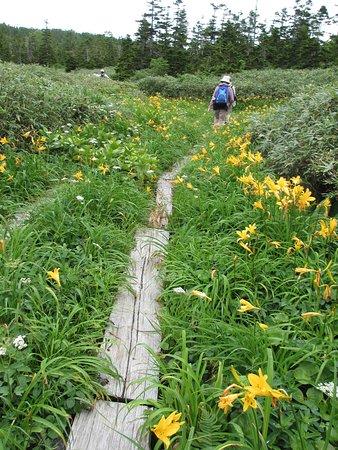 Hachimantai, Japón: ニッコウキスゲの咲く木道