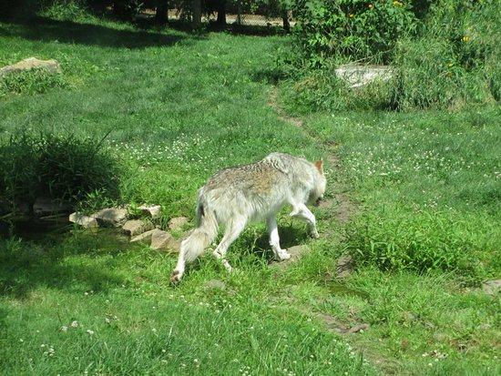 Oshkosh, WI: A lone wolf a the Menominee Park Zoo