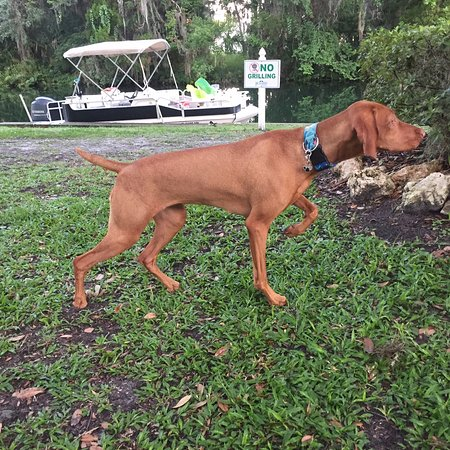 Great grounds at The Plantation on Crystal River, as pointed our by my Vizsla Lucy