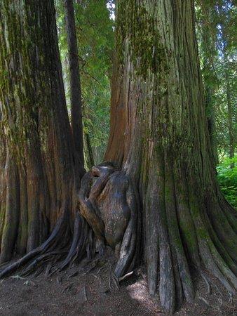 Troy, มอนแทนา: Beautiful HUGE trees