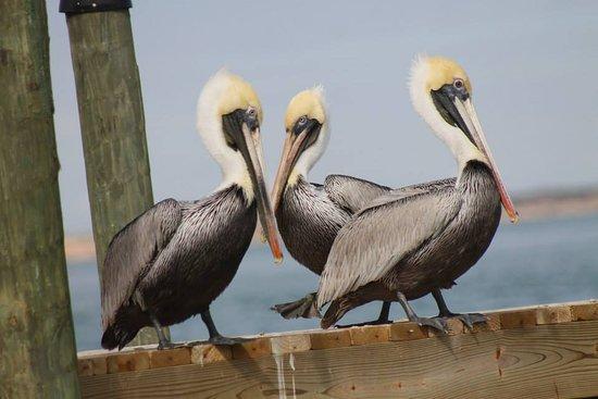 Πόρτλαντ, Τέξας: Pelicans in Portland
