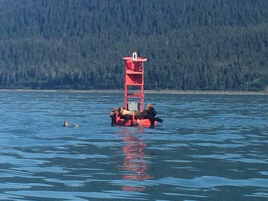 Harv and Marv's Outback Alaska: Steller sea lions