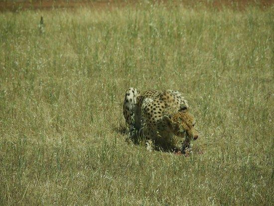 Australia Południowa, Australia: Cheetah