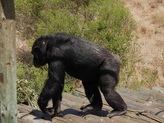 Australia Południowa, Australia: Chimpanzee