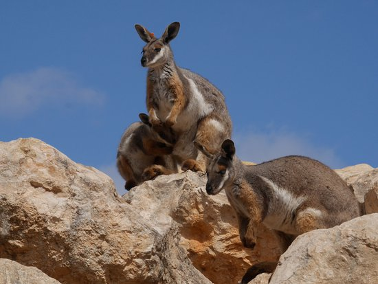 Australia Meridional, Australia: yellow footed rock wallaby