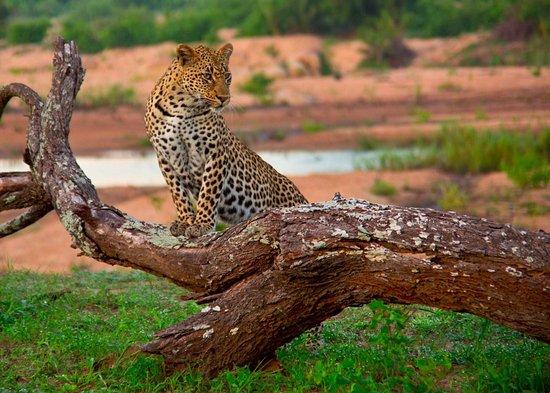 """Mala Mala Private Game Reserve, جنوب أفريقيا: ...""""sempre nel cuore""""...."""