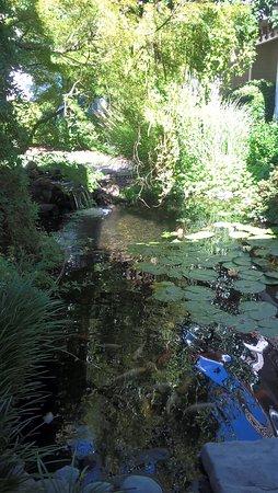 Ukiah, CA: Koi ponds next to pool area