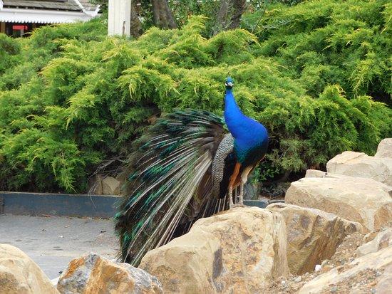 Hollister, Californie : Mascot or visitor