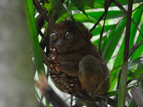 Philippine Tarsier and Wildlife Sanctuary: Tarsiers are nocturnal, arboreal, and solitary primates.
