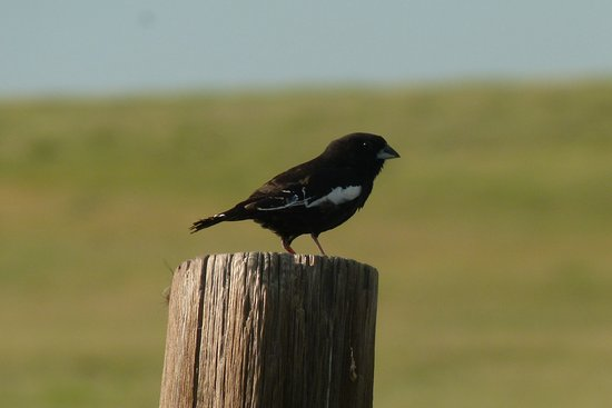 Fort Collins, CO: You may see the state bird, the Lark Bunting