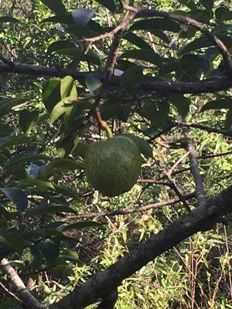 Coral Springs, FL: A pond apple