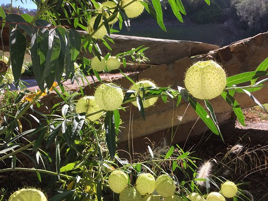 Marbella Golf & Country Club: Unusual plant with transparent flowers / fruit