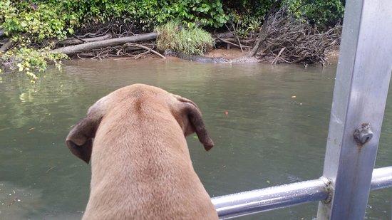 Daintree, Australia: Duke focused on a croc