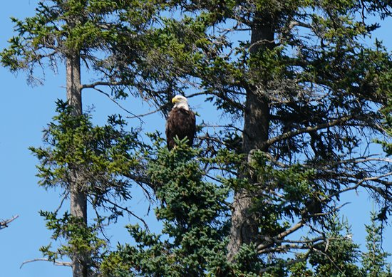 Bass Harbor, ME: eagle
