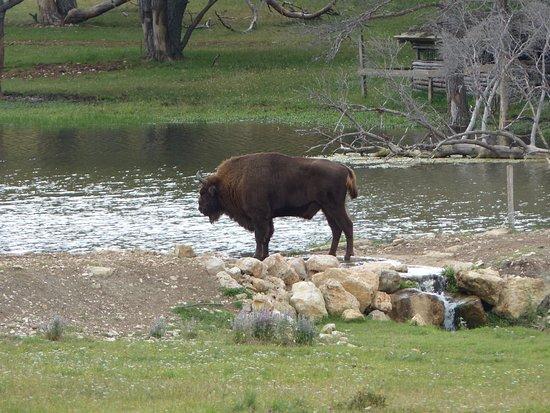 Thorenc, Prancis: Bison mâle