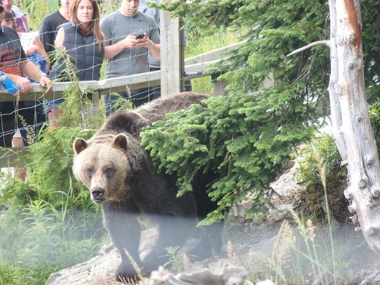 Nord-Vancouver, Canada: grizzly bear