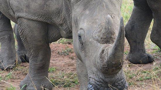 Durban Day Safaris: Curious rhino still with horn :-)