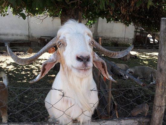 "Yesiluzumlu, ตุรกี: Derpy Goat near ""Eddies"""