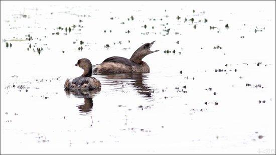 Lake Martin : Pied-billed Grebe