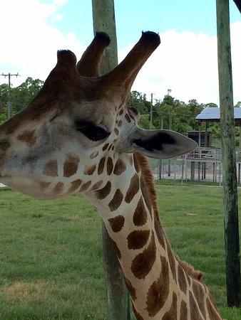 Loxahatchee, FL: Feed the giraffe! Photo not enlarged.