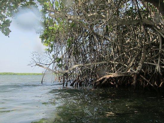 Mangrove Information Center Kayak & Snorkel Excursions: Mangroves