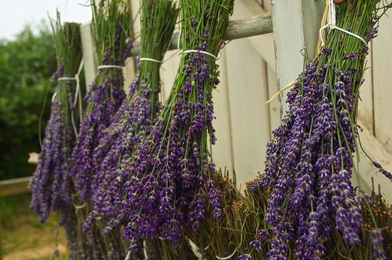 Lostwithiel, UK: Lavender bundles drying in the sun..