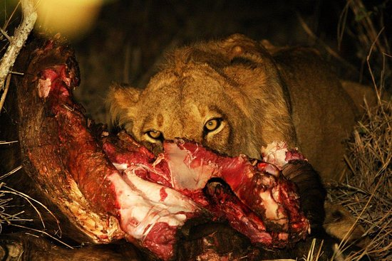 Almero our guide found us a lion kill on our first night at Kings Camp. Photo by Ilan Ossendryve